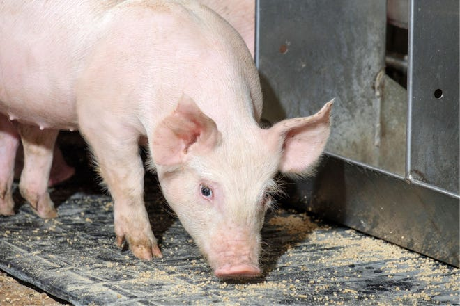 Proper management and nutrition can help weaned pigs overcome barriers and position them for long-term success.