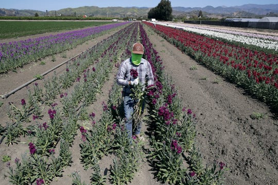 A farmworker, considered an essential worker under the current COVID-19 guidelines, covers his face as he works at a flower farm in Santa Paula, Calif.