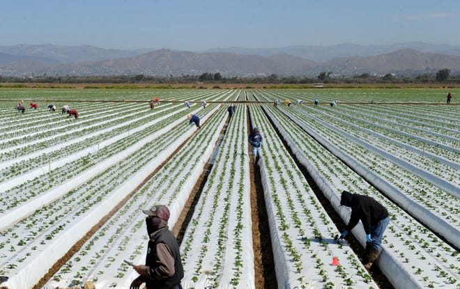 The Ventura County Board of Supervisors approved plans for a farmworker assistance program on Tuesday that will provide financial support to farmworker families.In August, farmworkers tended to a field of strawberries in Oxnard.