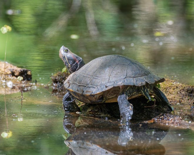 A red-eared slider turtle.