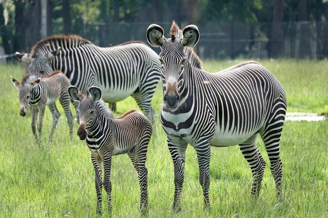 A family portrait of two endangered Grevy's zebra mothers and their newborn foals at White Oak Conservation, a 17,000-acre nonprofit wildlife refuge on the banks of the St. Marys River in Yulee.