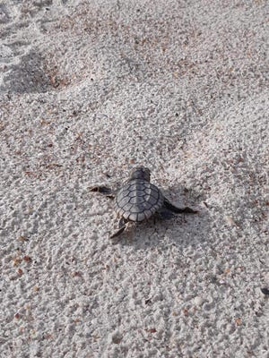 The sea turtle season is transitioning from nesting to hatching
