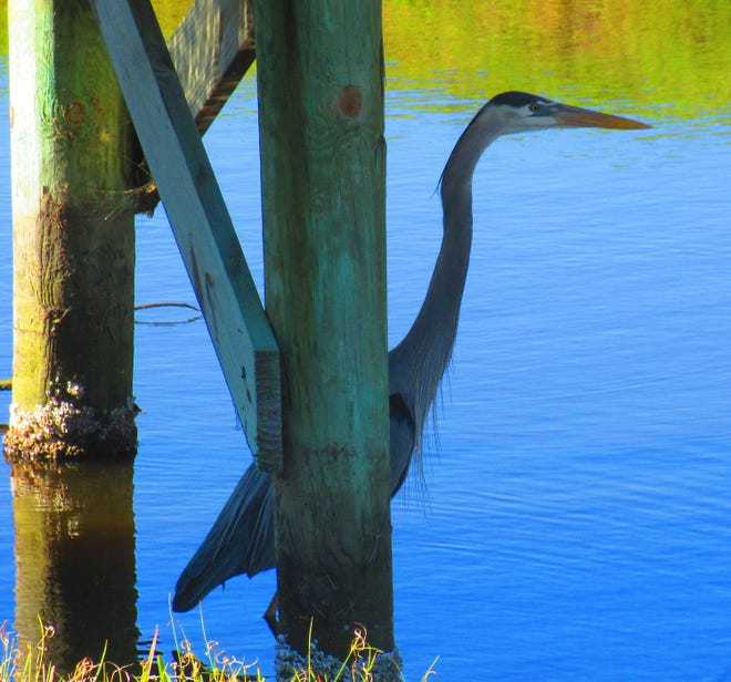 Blue Heron catching some shade. [Daniel Troian/Contributed]
