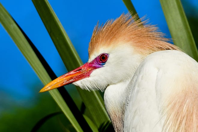 Cattle egret mating plumage. [Dave Berman/Contributed]