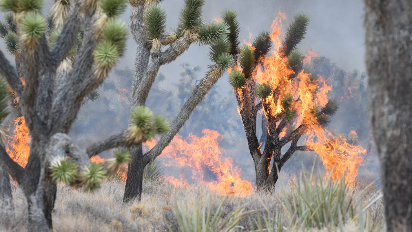 Joshua trees protected under the California Endangered Species Act in historic vote