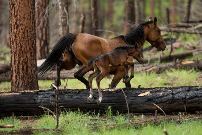 Wild horses forage for grass in the White Mountains wilderness in eastern Arizona on Aug. 14, 2020.