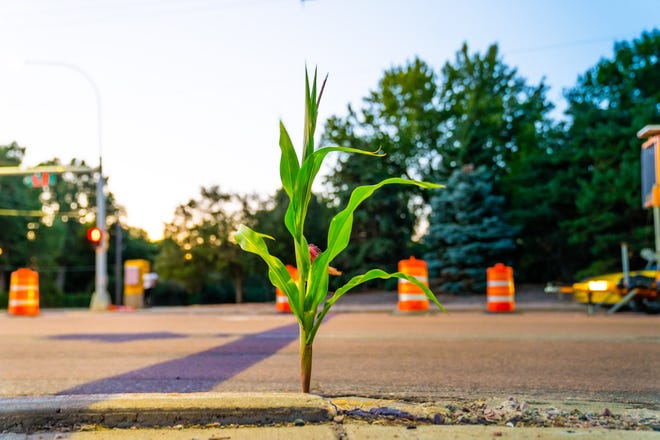 A profile of the 57th Street corn stalk, radiant in the golden hour near the Minnesota Avenue intersection on Aug. 16, 2020.