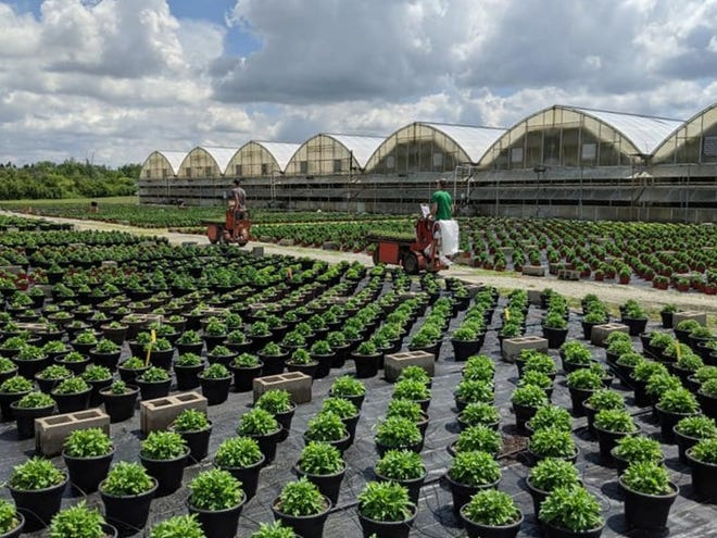 Karthauser & Sons grows over 2 acres of hardy mums for summer and fall.