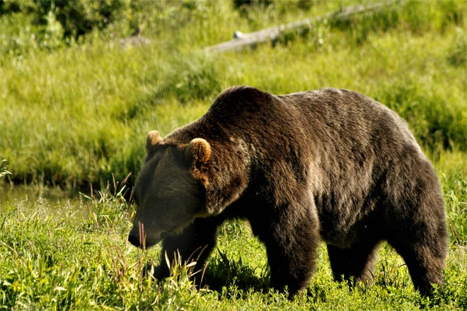 One of the grizzly bears we saw in Alaska; shall we see a black bear here in the near future? Who knows?