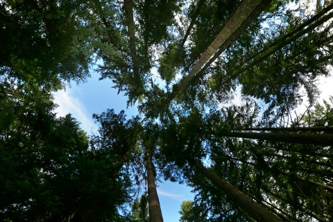 """Trees grow on forest land as part of a project to sell so-called """"carbon credits"""" to individuals and companies that are hoping to offset their carbon footprints. [AP Photo/Ted S. Warren, File]"""