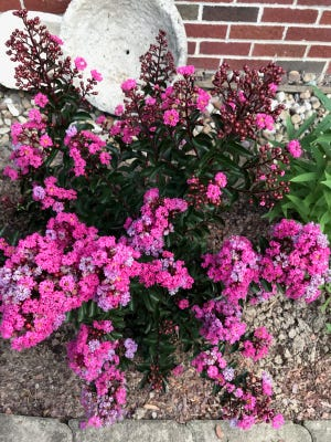 This overhead view of one of Mary Lee Minor's crepe myrtle shrubs, Cool Beans, demonstrates heavy blooming and the myriad colors that unfold during its long bloom time.