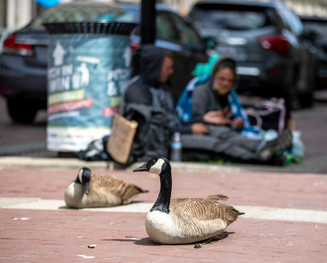 A pair of geese have taken up residence in front of a homeless couple next to the Starbucks location on Monument Circle in downtown Indianapolis, Wednesday, April 22, 2020.