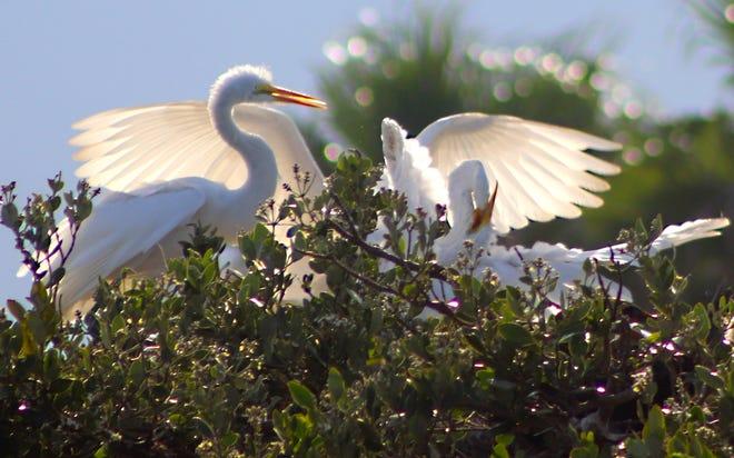 Egrets gather before sunset.