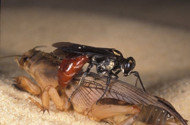 Some wasps help homeowners by controlling pests [UF/IFAS]