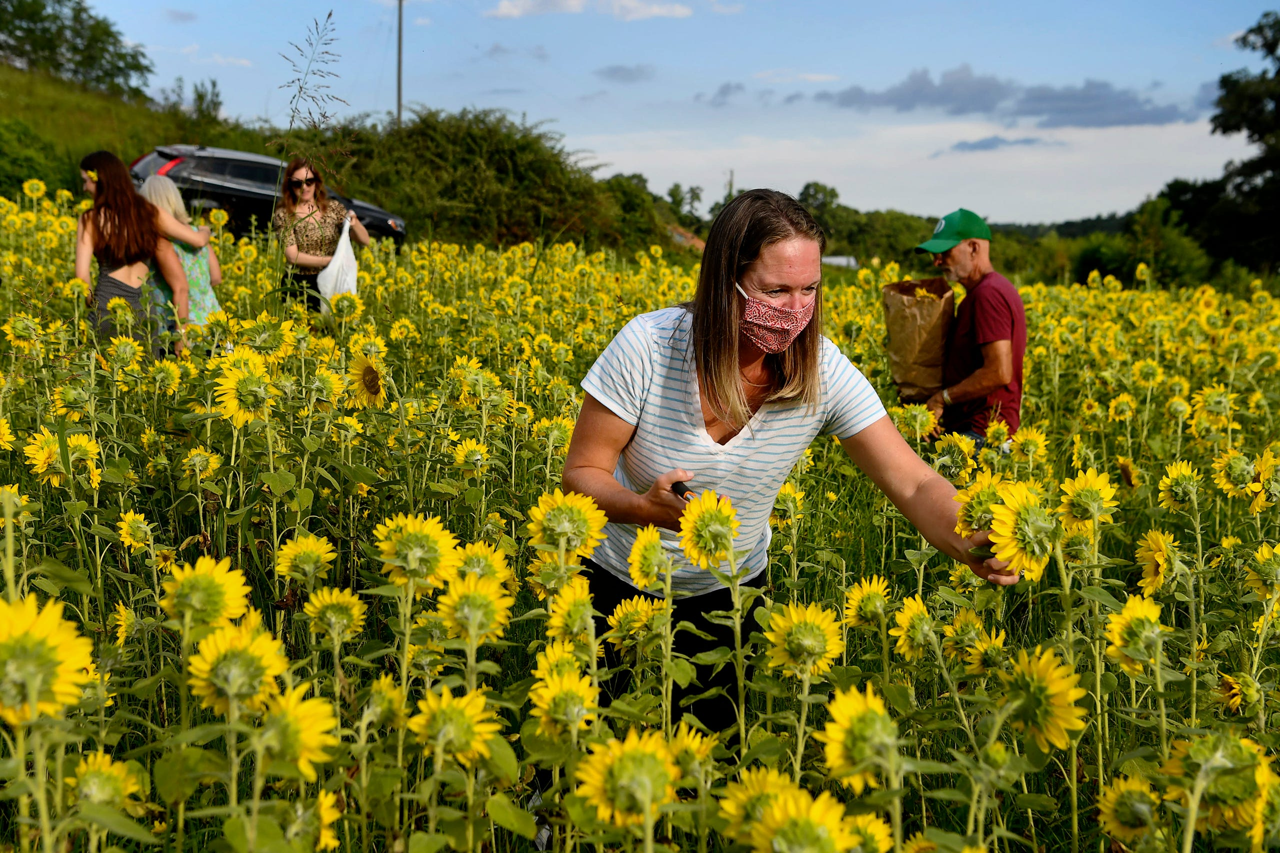 Sarah Pica collects sunflowers at Olivette Farm August 19, 2020, before heading to arrange them along Craggy Bridge in Woodfin.