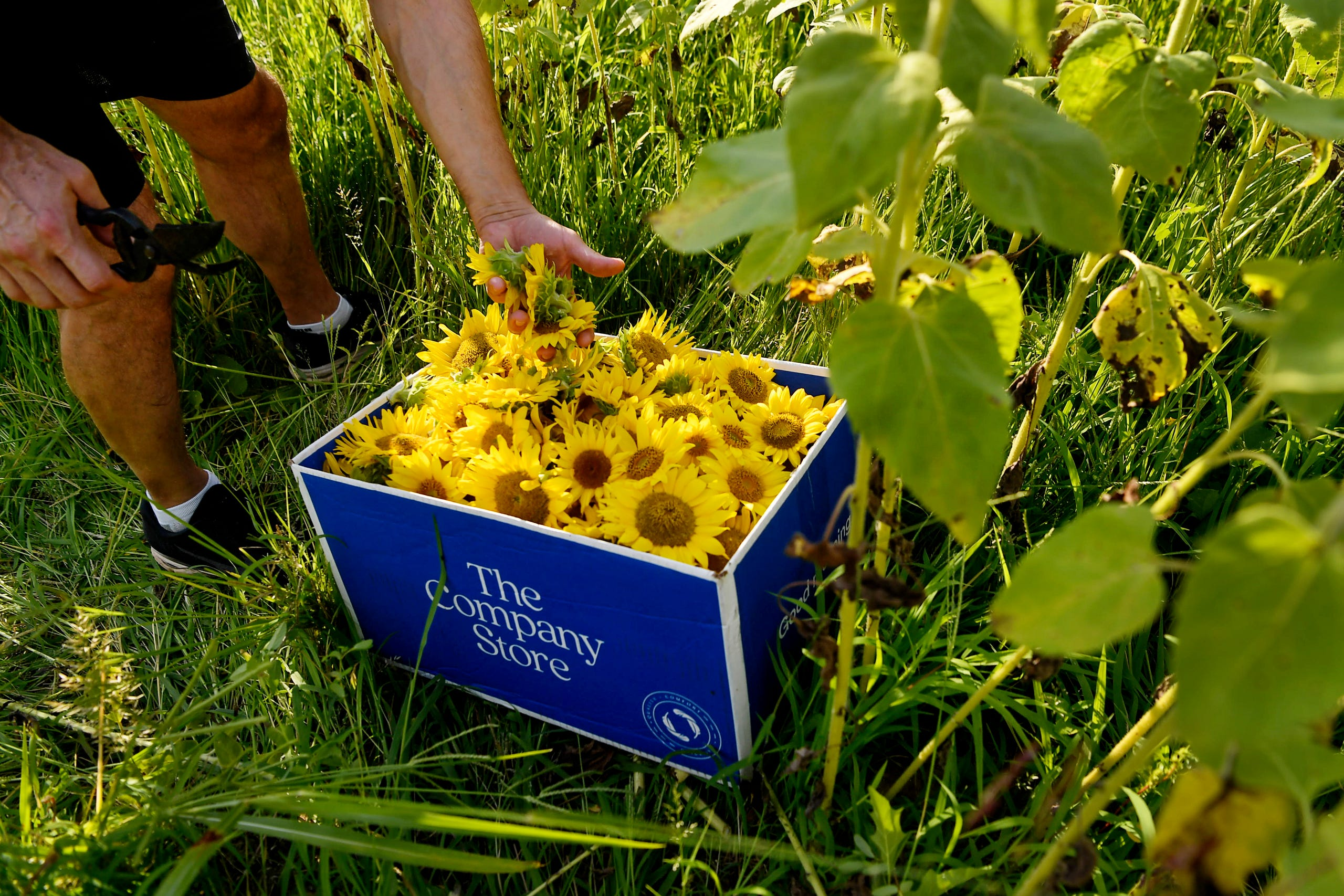 Giuseppe Ferdinandi places a handful of sunflowers into a box as residents of the Olivette community work to spread cheer across the Craggy Bridge in Woodfin August 19, 2020.