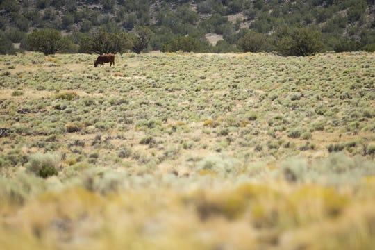 A cow grazes on Kevin McFee's ranch near St. Johns, Ariz. on Aug. 13, 2020. Ranchers are facing the challenges of a severe drought.