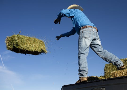 Rancher Trenton Hancock throws bundles of hay to feed to his cows at a ranch near St. Johns, Ariz. on Aug. 13, 2020. Arizona ranchers are facing the challenges of a severe drought.