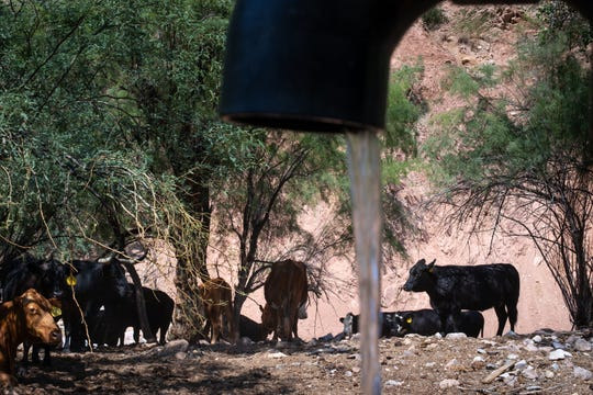Cattle drink water at an artesian well on August 19, 2020, at the Battle Axe Ranch, south of Superior, Arizona.