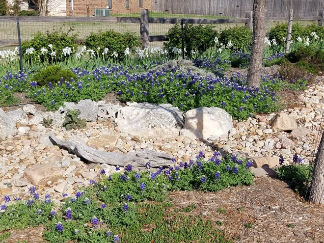 Bluebonnets in a San Angelo landscape.