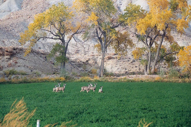 Deer feed in a farmer's alfalfa field in Huntington Canyon. Depredation is an on-going challenge for farmers, ranchers and the Division of Wildlife Resources.