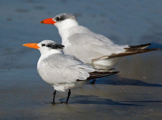 Royal, left, and Caspian terns. Note white forehead on royal, larger size and redder beak on Caspian.