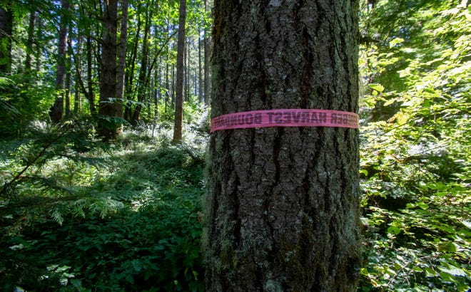 Tape marking a boundary in the BLM's Pedal Power sale is wrapped around a tree at the timber harvest site that is facing legal action in Springfield.