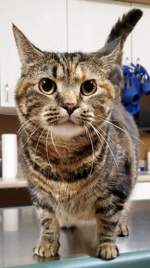 Sugar Rae is a special needs cat needing a new home.