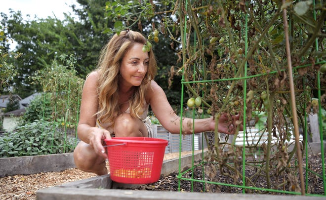 Sarina Fordice picks cherry tomatoes from her space in the Williamson County Community Garden in Franklin on August 13, 2020. The garden is run by Williamson County Parks and Recreation and there is a waiting list to get a spot.