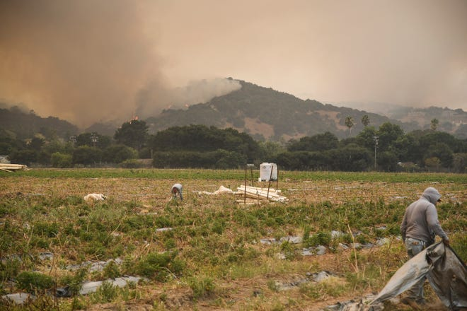 Farmworkers go through fields along Pine Canyon Road as the hillsides behind them burn steadily through the afternoon. Aug. 19, 2020.