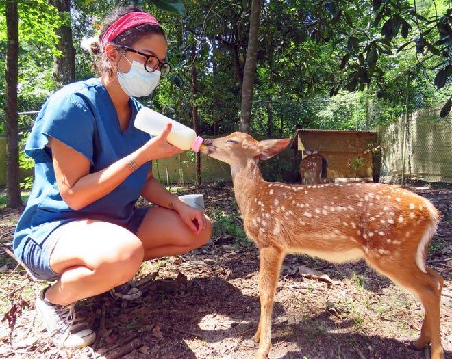 Wildlife rehabilitator Nicole Rivera feeds an orphaned fawn its special formula at St. Francis Wildlife.