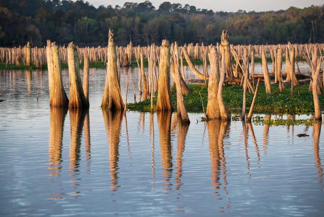 Stumps line the old Ocklawaha River channel at Rodman Reservoir during a drawdown in February. When the impoundment is full, the stumps are mostly underwater.