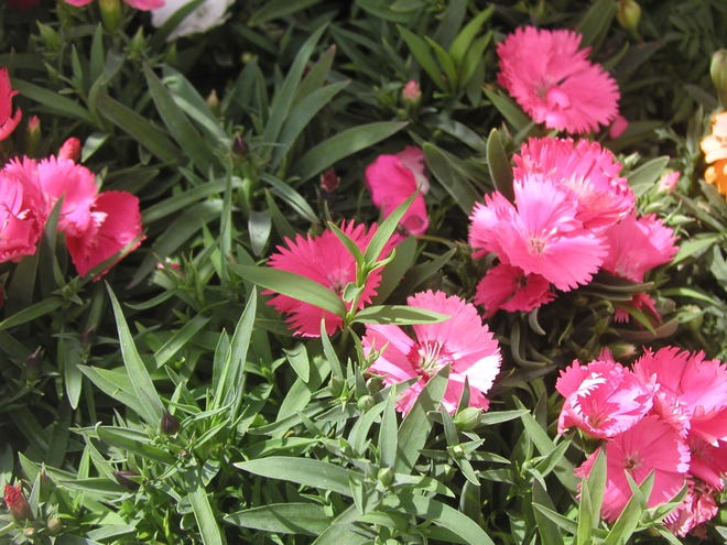 Plant flowers such as dianthus around your vegetable garden to attract pollinators.