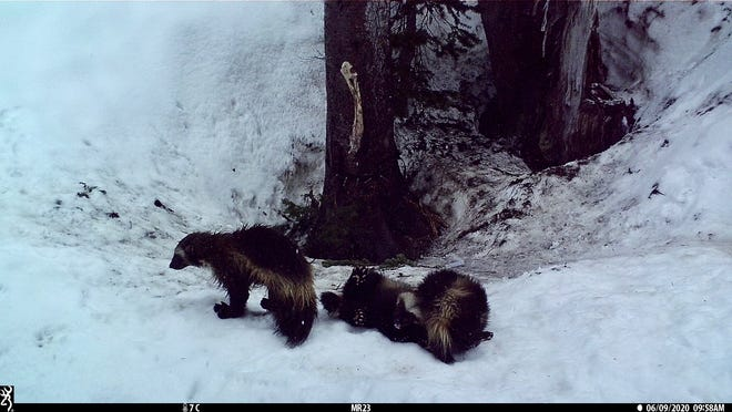 Researchers have discovered the first female wolverine and her two offspring, called kits, in Mount Rainier National Park in more than 100 years.