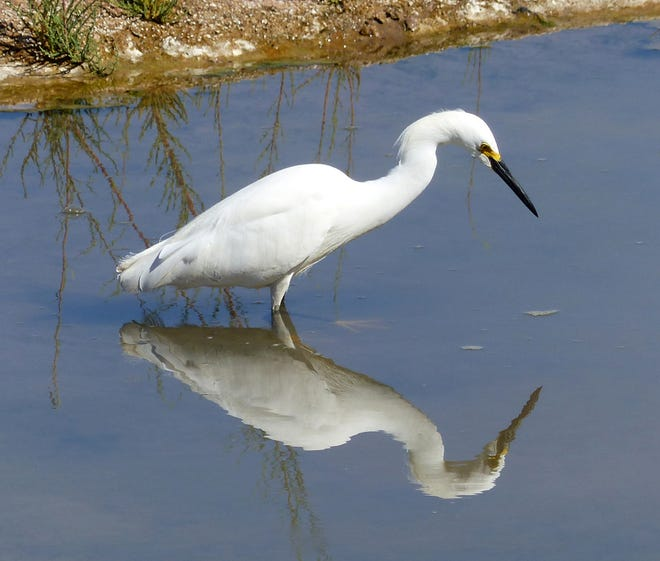 A snowy egret patrols the shallows below Leasburg Dam.