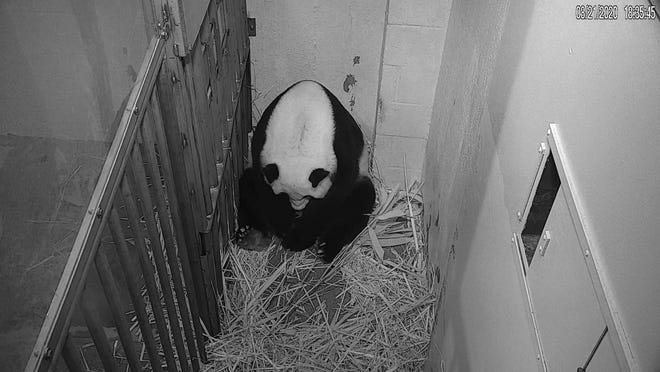In this image from video provided by the Smithsonian National Zoo, Mei Xiang is seen after giving birth to a Giant Panda cub Friday evening in Washington. The cub is Mei Xiang's fourth. Her first three offspring, Tai Shan, Bao Bao and Bei Bei, were transported to China at age 4 under an agreement with the Chinese government.