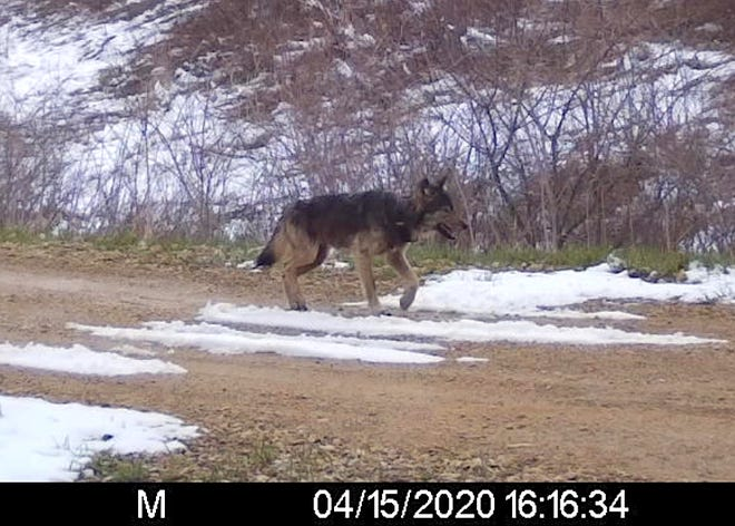 An adult male wolf fitted with a GPS tracking collar last January in Upper Michigan was captured three months later on a trail camera in Trempealeau County.
