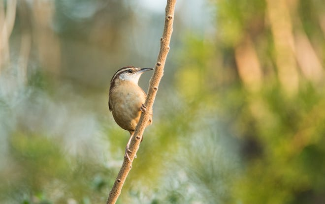 A Carolina Wren investigates a visitor to Fort Mose State Historic Park.