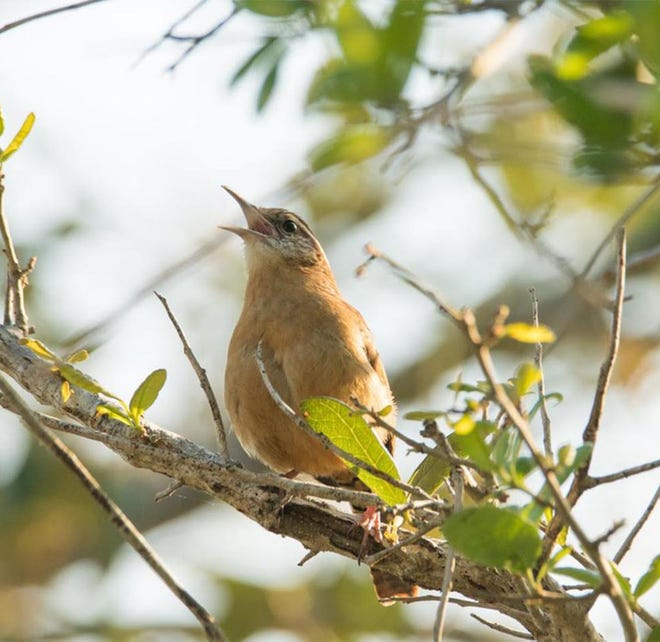 A Carolina Wren greets sunrise with its unique song at Las Palmas on the Intracoastal.