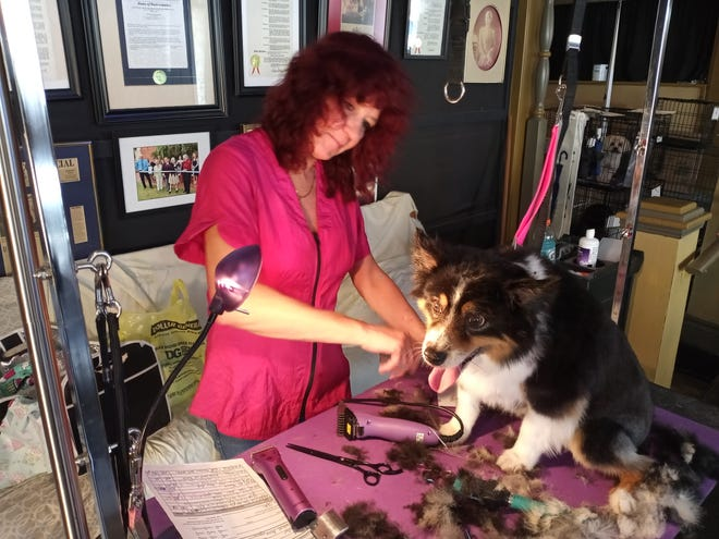 With pictures of dignitaries, awards and newspaper articles looking on from the wall, Heidi Spano gives Max a trim.