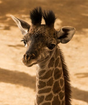 An endangered Masai giraffe calf was born recently at The Wilds.