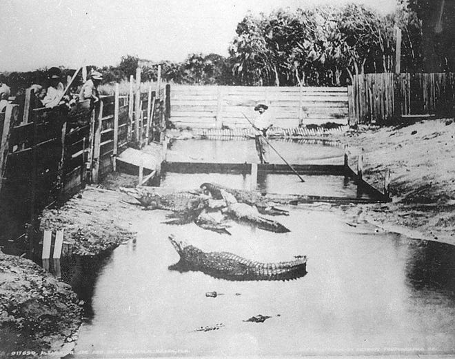 At Alligator Joe's, considered one of Palm Beach's earliest tourist attractions, Warren Frazee held his periodic alligator-wrestling shows at his pen.