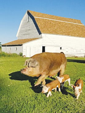 Lindsey Bergner's Hereford sow pig, Love, takes her litter of piglets on an evening stroll around the Bergner farm in Pratt County.