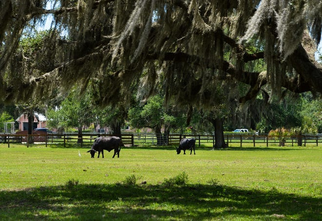 Cattle graze in a field off Myakka Road, east of Sarasota.