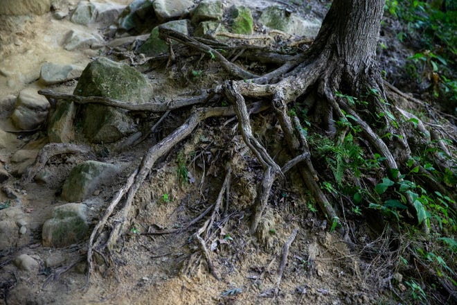Exposed tree roots are visible along one of the rocky bluffs in Wildcat Den State Park in Muscatine County in Iowa. Root systems are probably the biggest component of what makes a plantwork.
