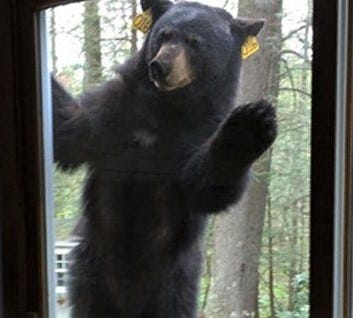 A bear peers into a house.