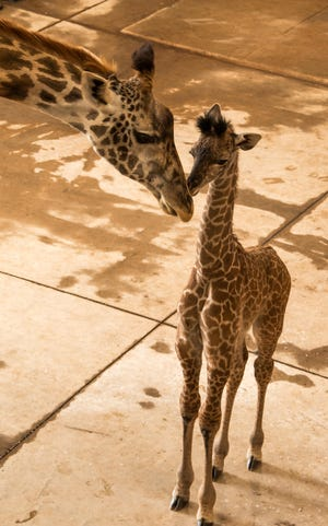 A new giraffe calf, seen with its mother, was born Aug. 4 at The Wilds in Cumberland. The Masai subspecies went from vulnerable to endangered in 2019.