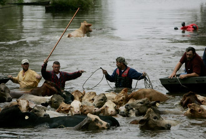 Wranglers guide a herd of stranded cattle to higher ground in Chauvin after Hurricane Rita swamped the lower-Terrebonne Parish community.
