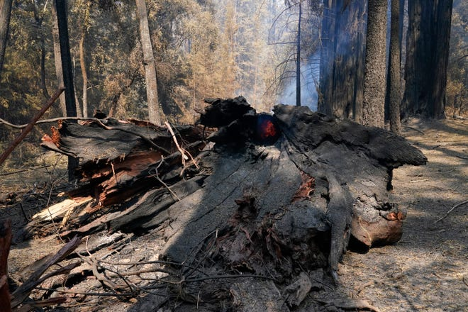 A fallen redwood tree continues to burn Monday in Big Basin Redwoods State Park, Calif. The CZU Lightning Complex wildfire tore through the park but most of the redwoods, some as old as 2,000 years, were still standing.