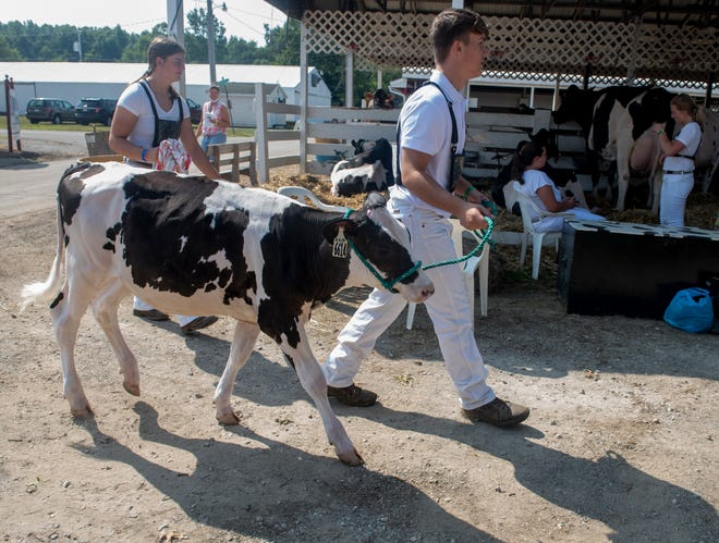 Griffin Ailes, 16, of Ravenna, walks his 6-month-old Holstein hefer, Margarita back to her stall on opening day of the 2020 Portage County Randolph Fair. This year's fair opens today to the public.